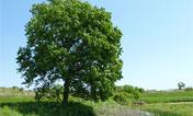 クルミ:樹木